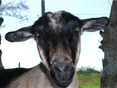 Is this a Goat, Sheep, Lamb or Alien in CUBA. - The EYES have it !