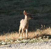 2008 fawn