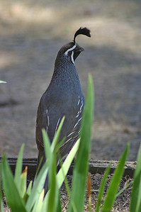 Male quail on the lookout while nestlings forage.