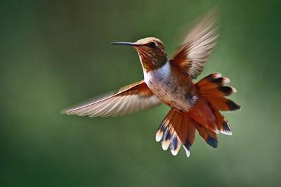 2009 Hummingbird - Rufous