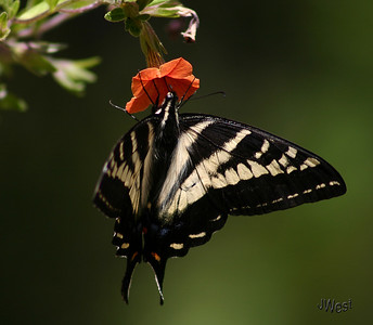 Swallow Tail butterfly in Spring of 2009