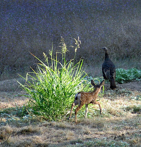 Stalking the turkey - hope he doesn't catch it, the turkey is bigger than the fawn!