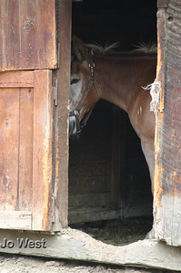 Mule peeking from barn - Wawona stables