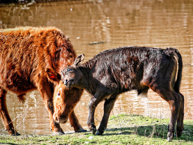 Old%20Hiwy%20Pond%20cows%20detailed%20and%20vignette-L.jpg