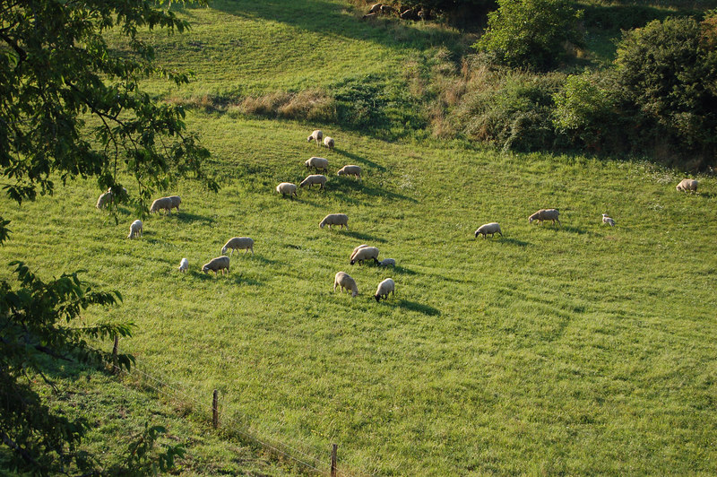 Sheep in the lower field right behind our house.
