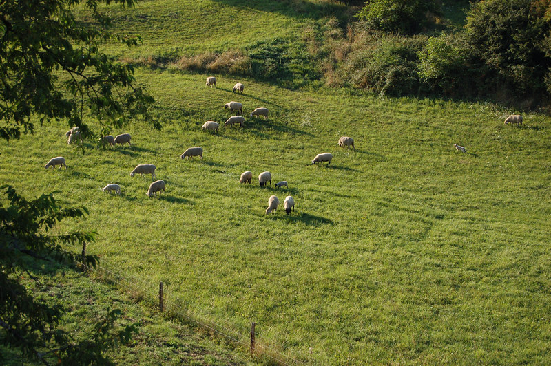 Another shot of the sheep.