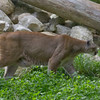 Cougar at Maine Wildlife Park in Gray, Maine