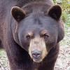 Brown Bear at Maine Wildlife Park in Gray, Maine
