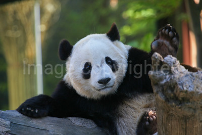 Tai Shan the panda - 3/12/10