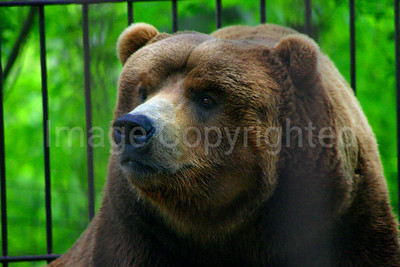 Grizzly Bear in Thurmont Zoo