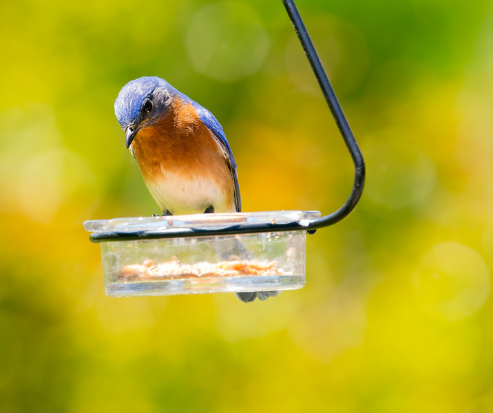 The Blue Birds  Love live Meal worms, so do the other little birds.