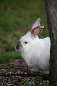 Our neighbor's pet rabbit, Snowball.