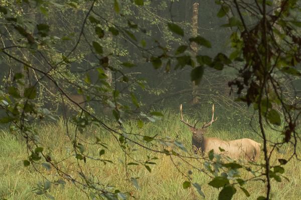 Elk at Prairie Creek