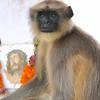 The Langur of Penhe de France(animals of India)