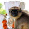 This Langur has been causing havoc in and around the villiage of Penha de France,Goa.. He picked this location not me!