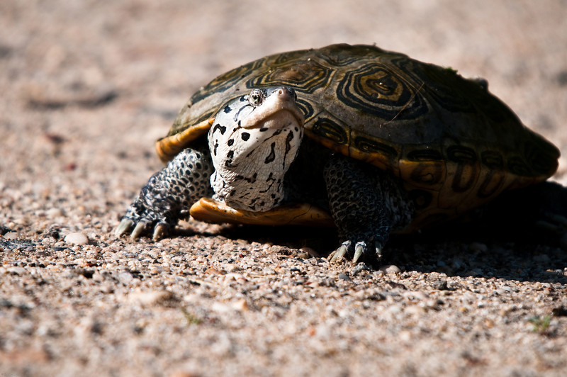 Diamondback Terrapin<br /> Sunken Meadow State Park<br /> New York