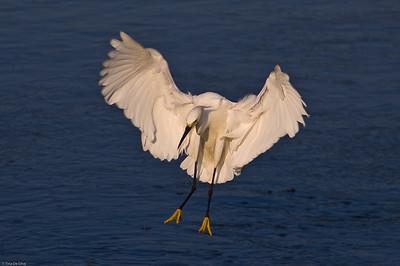 Egret in Landing Sunken Meadow State Park, New York