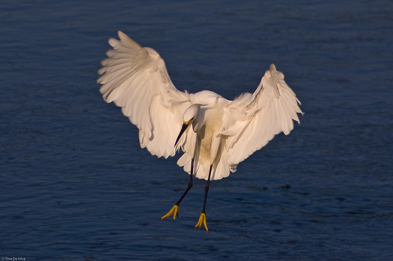 Egret in Landing<br /> Sunken Meadow State Park, New York