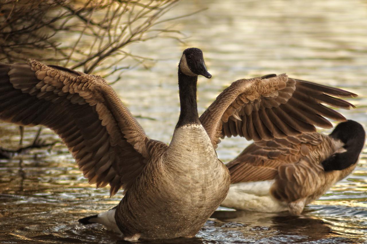 Canada Goose<br /> Bayard Cutting Arboretum, New York