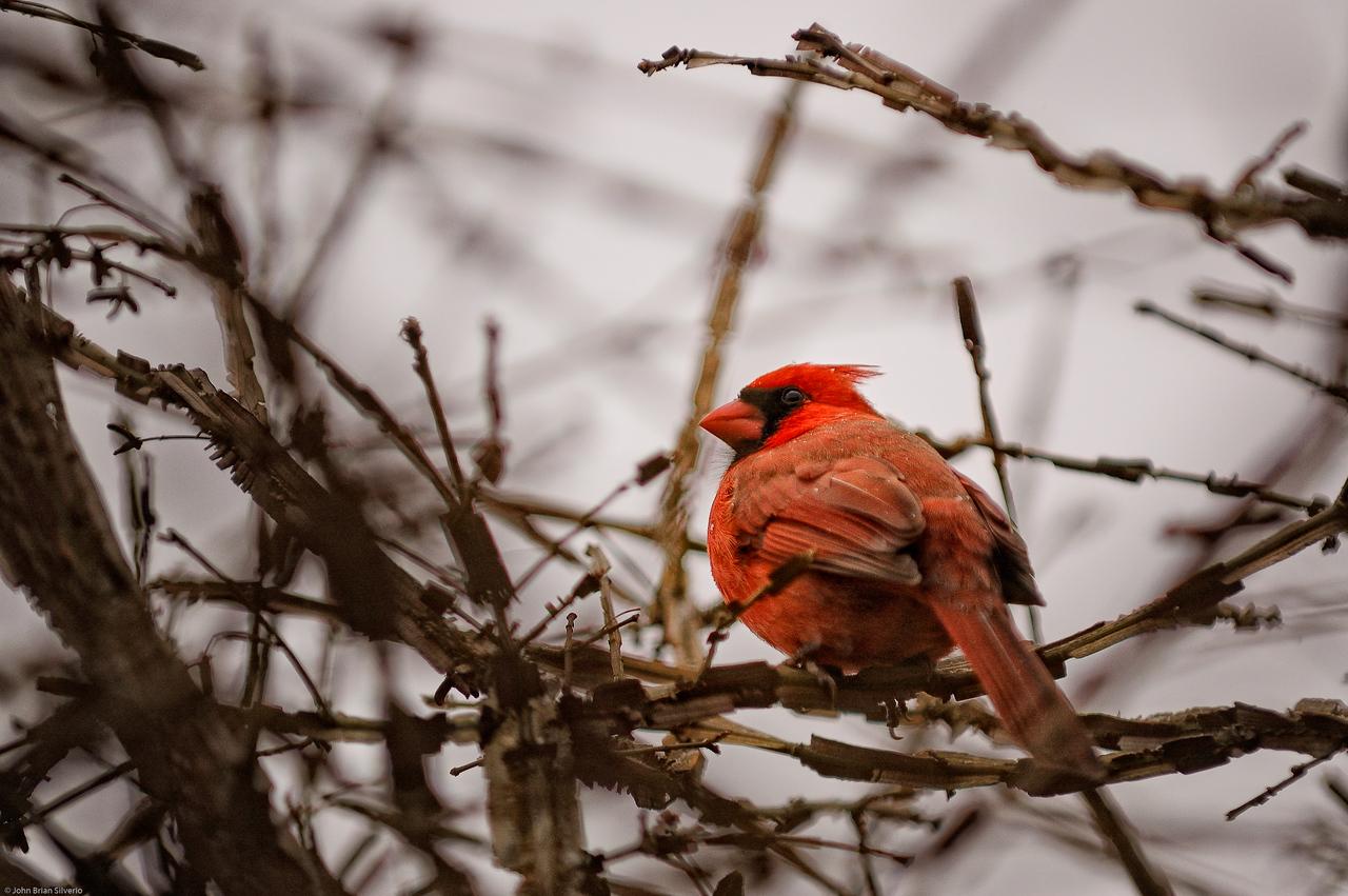 Male Cardinal<br /> Bayard Cutting Arboretum, New York