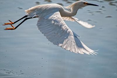 Snowy Egret in Flight Sunken Meadow State Park, New York