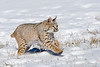 The first seven images are of bobcats