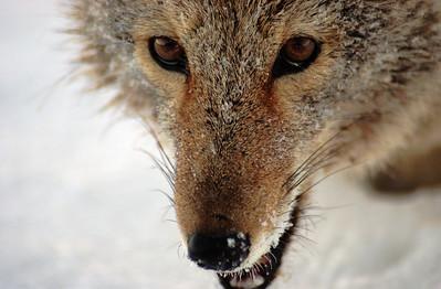 coyote_20