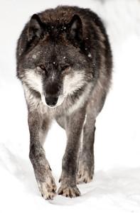DSC_2016wolf