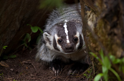 American Badger, Taxidea taxus