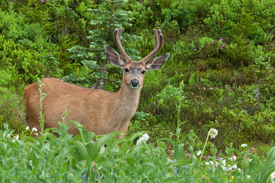 Blacktail_deer