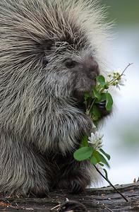 North American Porcupine (Erethizon dorsatum),