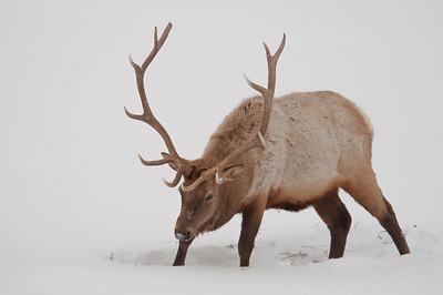 Elk, or wapiti (Cervus canadensis)