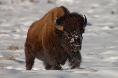 American Bison (Bison bison)]