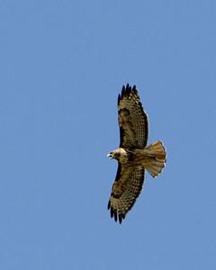 Hawk screams with full spread wings, Montana