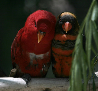 Listen baby, I'l buy you a drink if you be my chickadee. Red Parrots