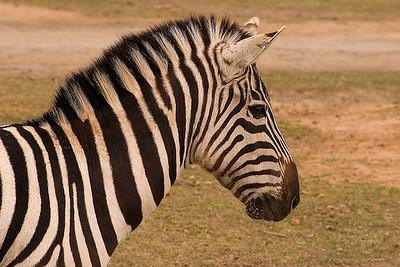 Zebra in a animal preserve in SC