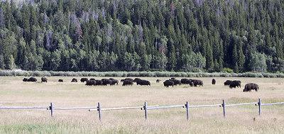Where the Buffalo roam wild and free, Montana, near Wyoming