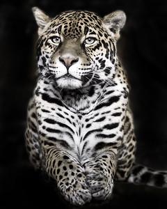 Tiger dark