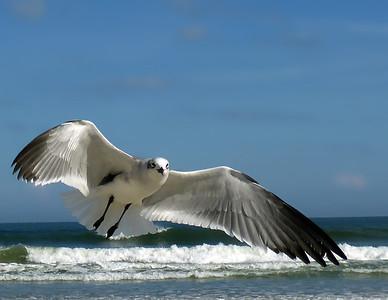 Seagull-P1010044