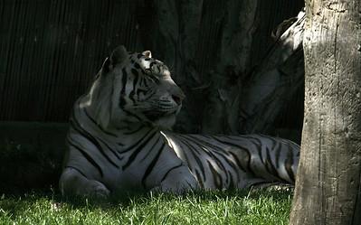 Resting Tiger in Georgia Atlanta Zoo