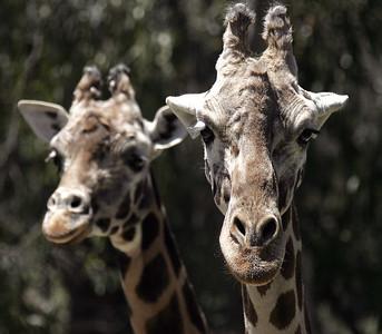 Giraffe in Oakland Zoo