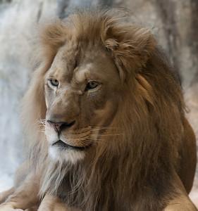 Lion_CRW_7573
