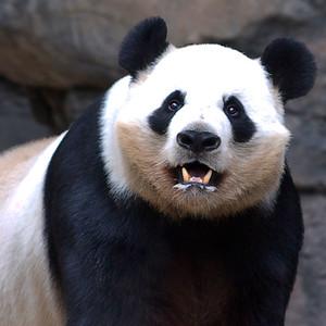 Panda ll_CRW_0531