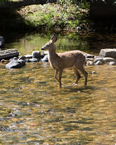 Young deer playing in the stream in Montana