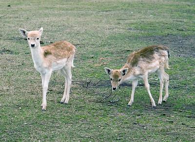 Baby deer?