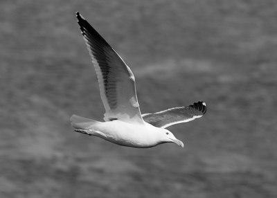 Sea Gull over Hilton Head, SC