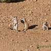 Juvenile ground squirrels at play May 2013