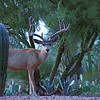 Mule Deer at dusk on August 26, 2011, Tucson Arizona