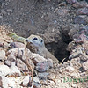 Round-tailed Ground Squirrel eating a mesquite bean-June 2011
