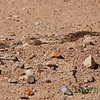 May 12, 2013 snake searches for ground squirrel babies.